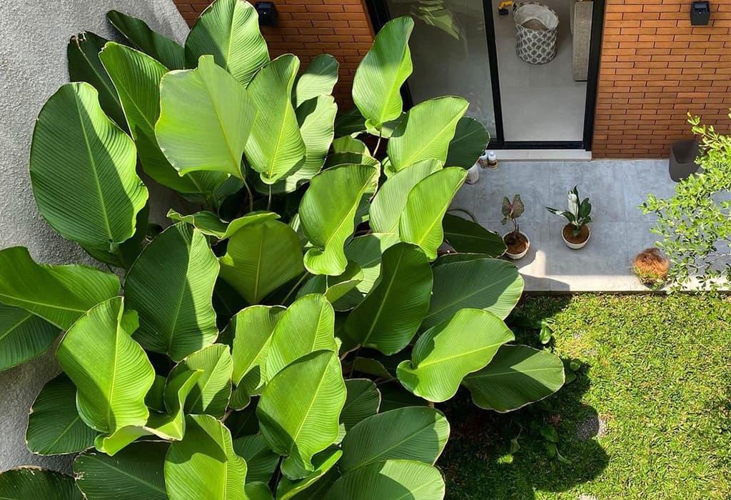 Calathea Lutea Plant