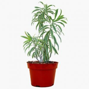 Dracaena Starr Plant