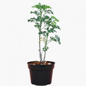 Polyscias Guilfoylei Plant