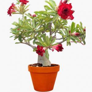 Adenium Plant (Bunchy Red)