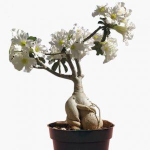 Adenium Plant White