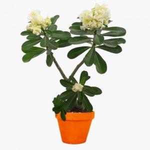 Adenium Plant Yellow