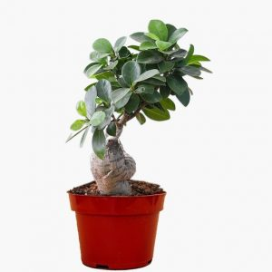 Cute Ficus Iceland Bonsai Plant