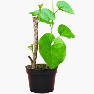 Giloy Plant (Tinospora Cordifolia)