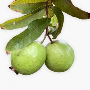 Guava (Guava Fruit Plant)