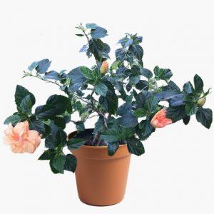 Hibiscus Plant (Gudhal Flower Plant-Peach Double)