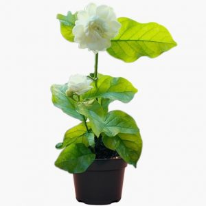 Jasmine Flower Plant (Mogra, Arabian Jasmine)