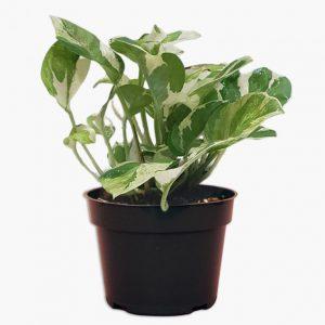 Money Plant Variegated