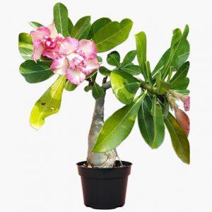 Adenium Plant Rose