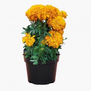 African Marigold Plant Orange