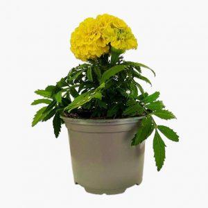 African Marigold Plant Yellow