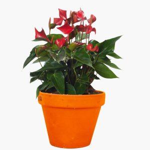 Anthurium Red Plant