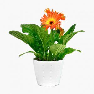 Gerbera Daisy Flower Plant