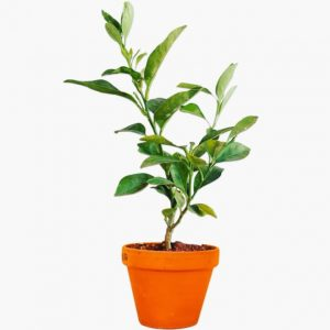 Mosambi (Sweet Lime Plant)