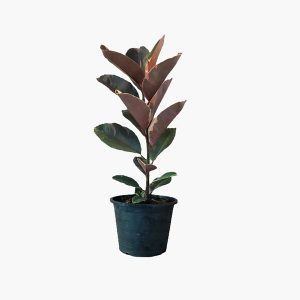 Rubber Plant (Ficus Elastica - Baby)